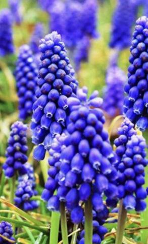 ムスカリの花をイメージ